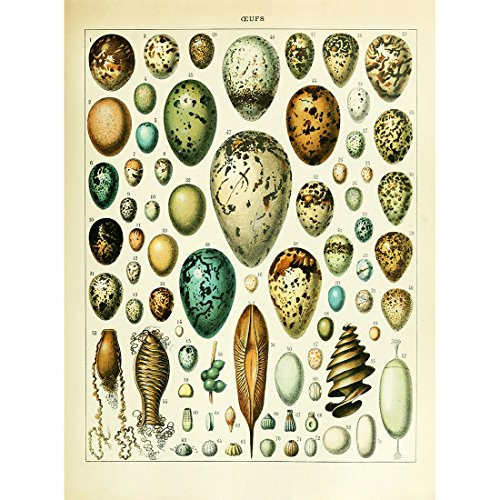 (Meishe Art Vintage Poster Print Birds Colorful Eggs Collection Species Aves Identification Reference Chart Diagram Beautiful Home Wall Decor)
