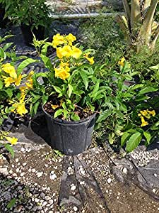 Tecoma stans, Yellow Elder, Esperanza, Trumpetflower, Bells of Fire - 7 Gallon Live Plant - Bush