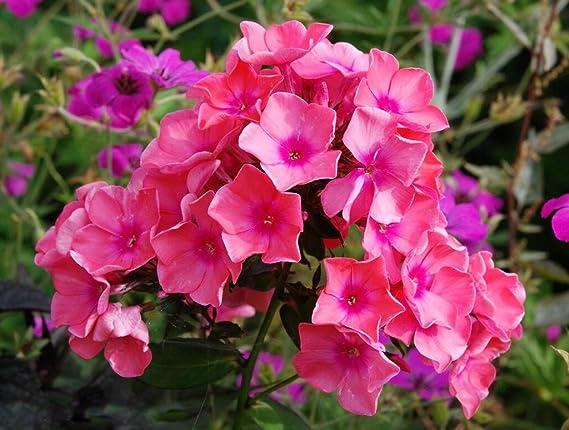 Wurzel Flammenblumen Red Phlox Blumenzwiebel//Knolle