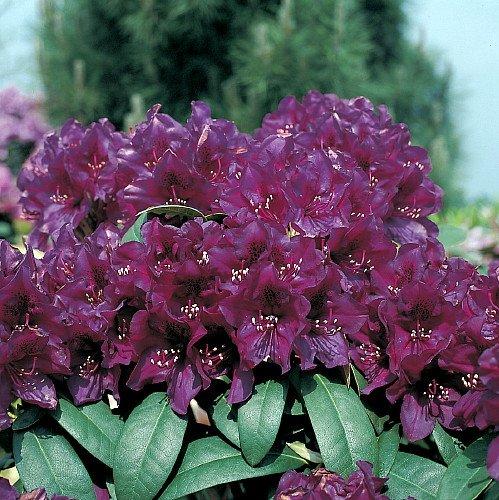 polar-night-polarnacht-rhododendron-almost-black-4-pot