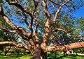 Bursera Simaruba GumboLimbo tropical hardwood rare flowering rare tree 30 seeds