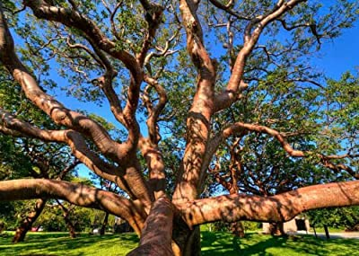 Bursera Simaruba GumboLimbo tropical hardwood rare flowering rare tree 30 seeds