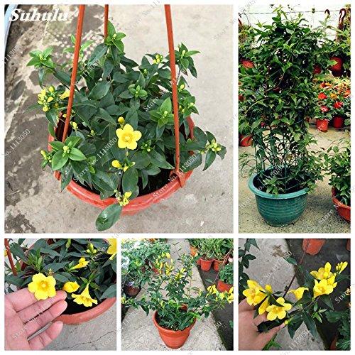 (Bright Yellow Jasmine Seed Gardenia Jasminoides Climbing Flower Seed Exotic Shrub Beautiful Bonsai Tree Seed 20 Pcs/Bag)