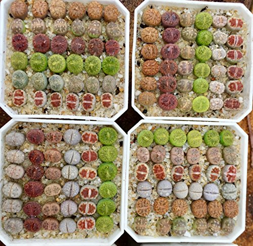 Micro Landscape Design Rare Authentic Lithops Seed Kit/Pack of 25 Seeds Plus Live Seedlings and Germination Kit/Guarantee Excellent Germination Rate (Pack 25 + 3 Live Seedlings + Germination Kit) by Micro Landscape Design