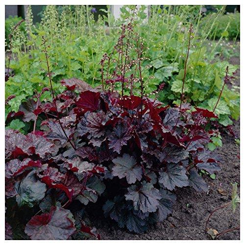 - 50+ heuchera Purple Palace Coral Bells, Evergreen Shade Perennial Flower Seeds