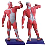 Tinsay Human Whole Body Muscle Sport Move Medical