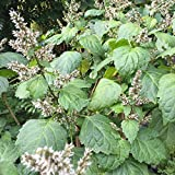 Patchouli Seeds (Pogostemon cablin) 50+ Organic Medicinal Herb Patchouli Seeds in FROZEN SEED CAPSULES for The Gardener & Rare Seeds Collector - Plant Seeds Now or Save Seeds for Years