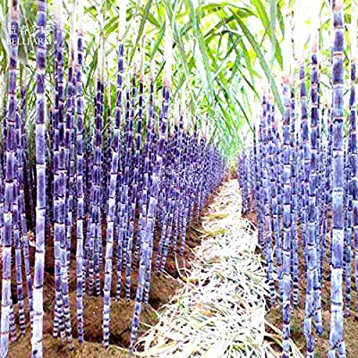 Hot Sale Gimax Black Sugarcane Organic Subtropics Plant Seeds, 100 Seeds, Sweet Juicy Saccharum Sugar Cane : Garden & Outdoor