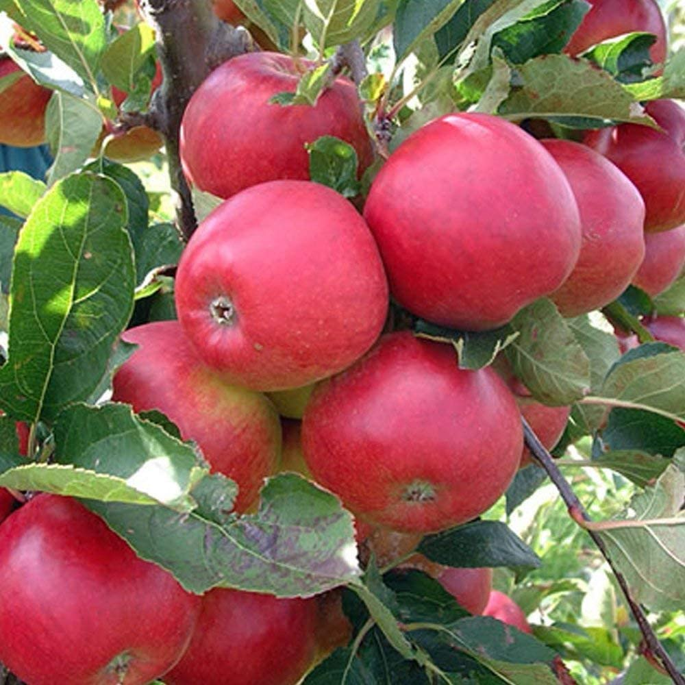 Portal Cool Seeds Package: Promotion 30 pcs Bonsai Apple Tree Seeds Rare Fruit Seeds Bonsai Tree- America red Delicious Apple Seeds Garden for Flower Pot