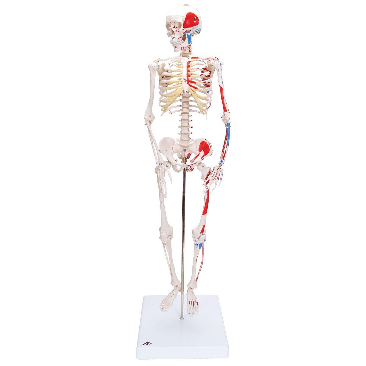 3B Scientific Menschliche Anatomie - Mini-Skelettmodell mit ...
