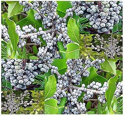 (15) Northern Bayberry Shrub Seeds - Myrica pensylvanica