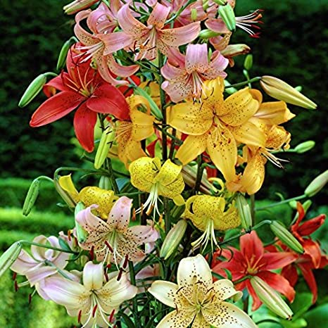 Burpee Fragrant Oriental Lily Mix 10 Flowering Bulbs 14-16 cm Circumference