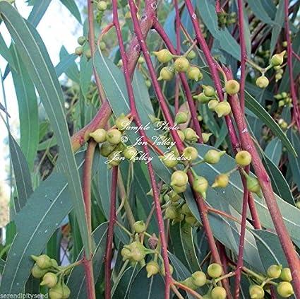 Amazon eucalyptus camaldulensis red river gum seeds evergreen eucalyptus camaldulensis red river gum seeds evergreen white flowers aromatic 50 mightylinksfo