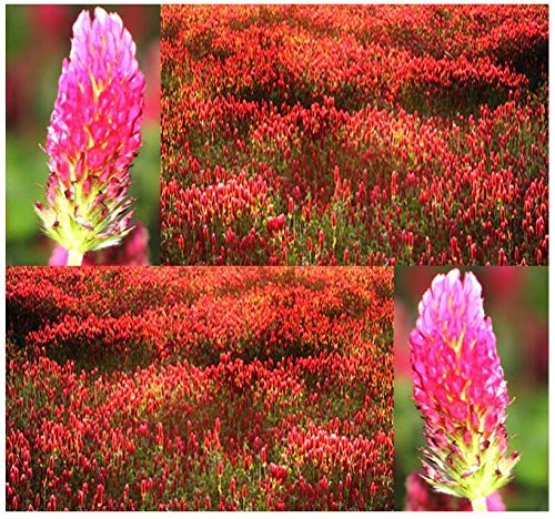 BIG PACK GROUND COVER - FRENCH CRIMSON CLOVER (14,000) Seeds - Trifolium Incarnatum - Nectar Source for Honey Bees - Non-GMO Seeds by MySeeds.Co (BIG PACK - French Crimson Clover)