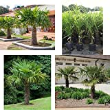 Windmill Palm Tree Tropical Live Hardy Plant Yard Outdoor Garden NEW