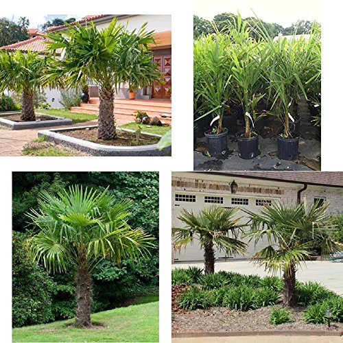 Windmill Palm Tree Tropical Live Hardy Plant Yard Outdoor Garden - Mall Palm Garden
