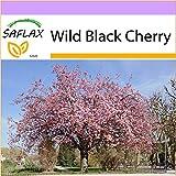 SAFLAX - Wild Black Cherry - 30 seeds - Frost Resistant - Prunus serrulata