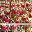 ADB Inc Mesembryanthemum Crystallinum Crystalline Ice Plant Seed