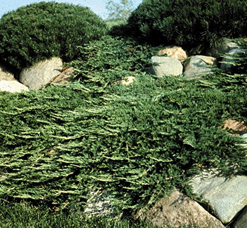 Creeping Juniper - Prince of Wales - 30 Live Plants in 4'' Containers - Evergreen Groundcover by Florida Foliage (Image #3)