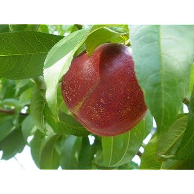 Red Gold Nectarine Tree - Hardy - Healthy - Established - 1 Gallon Pot - 1 Plant from Grandiosy Farm : Garden & Outdoor