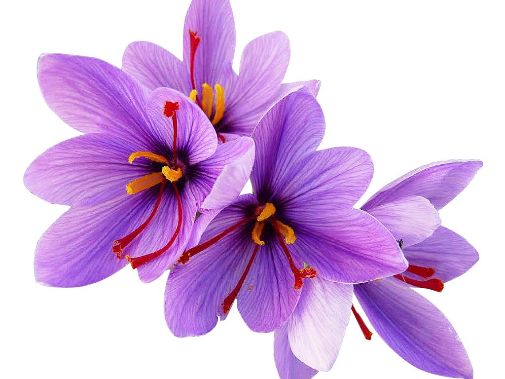 10 Saffron Corms - 9 cm - These Crocus Sativus Corms Produce The Saffron Spice