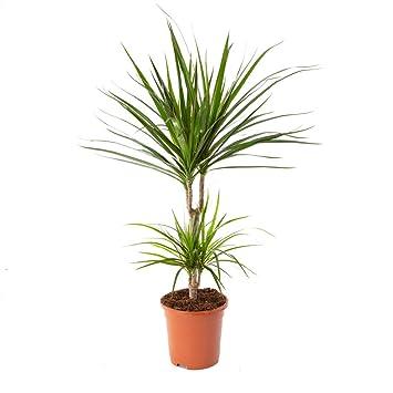 Airy Drachenbaum Zimmerpflanze Dracaena Marginata 17 Cm Topf