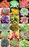 Echeveria Variety Mix, Sold By EXOTIC CACTUS, Exotic Rare Flowering Succulent Seed 50 Seeds Package