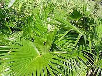 fan palm. chinese fan palm 10 seeds - livistona