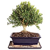 Brussel's Harland Boxwood Bonsai - Large (Outdoor) with Humidity Tray & Deco Rock