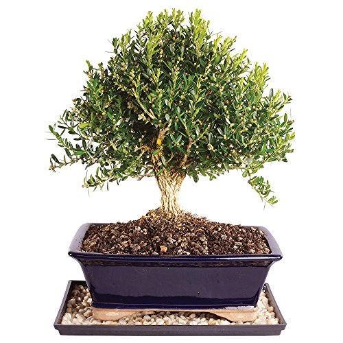 Brussel's Harland Boxwood Bonsai - Large (Outdoor) with Humidity Tray & Deco (Boxwood Bonsai Tree)