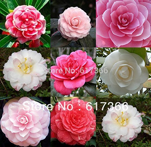 Wholesale - -400 MIXED DOUBLE CAMELLIA IMPATIENS Balsamina Flower Seeds 8 colors SKU30*4 ()