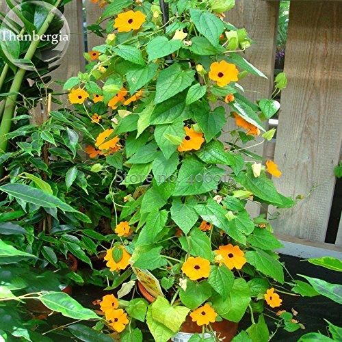 2018 Hot Sale Thunbergia Orange - Black Eyed Susan Vine Morning Glory Climbing Flowers, 20 Seeds, Very Beautiful Light up Your Garden E3724