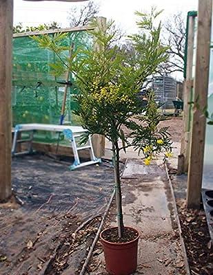 Acacia Dealbata Gaulois Astiermimosa Standard 5l Pot 100