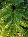 Home Comforts Peel-n-Stick Poster of Acanthus Plant Acanthus Acanthaceae Acanthus Mollis Poster 24x16 Adhesive Sticker Poster Print