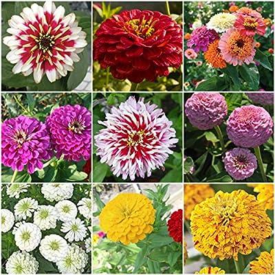 105+ Marvelous Zinnia Seeds Mix (9 Zinnia Types)