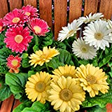 20 pcs Barberton Daisy Flower,Courtyard Balcony Potted Home Garden - (Color: 14)