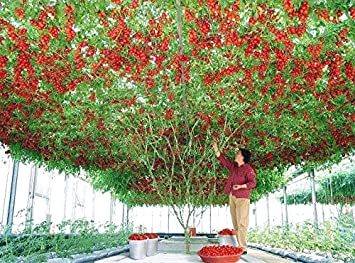 Vajra Seeds Italian Tomato Tree Trip L Crop Vegetable Seeds for Home/Garden - Pack of 50