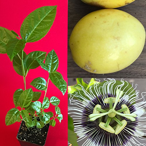 New and Healthy Yellow Passion Fruit Passiflora Edulis Potted Starter PLANT Tropical Vine by genuineprotection