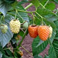 "Cascade Gold Raspberry Plant - 4"" Pot - Delectable Golden Berries"