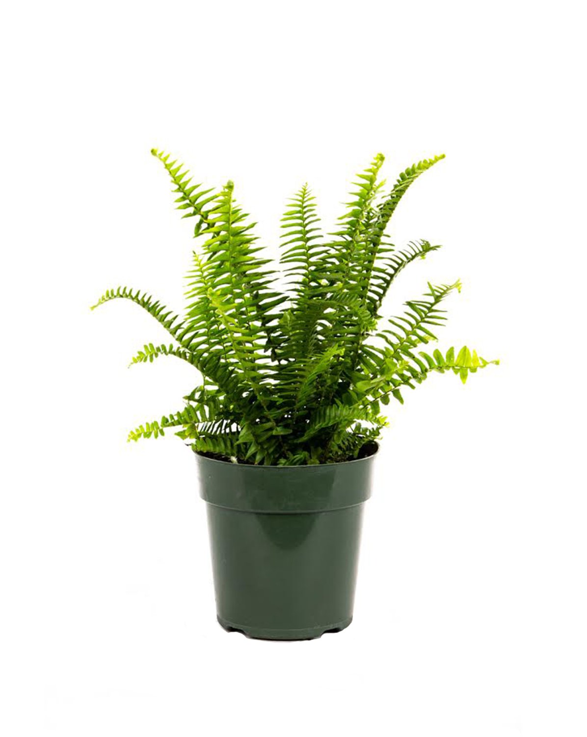 AMERICAN PLANT EXCHANGE Fern Kimberly Queen Live Plant, 6'' Pot, Indoor/Outdoor Air Purifier by AMERICAN PLANT EXCHANGE