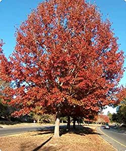 1 Starter Plant of Northern Red Oak