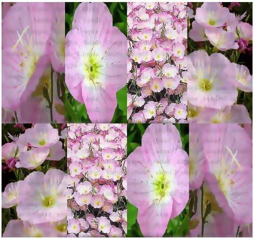 Plants Seeds Bulbs Showy Evening Primrose Oenothera Speciosa 6 000 Bulk Seeds Home Garden Gefradis Fr