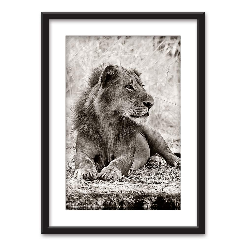 Framed Male Lion In Black White Black Picture Frames White Matting