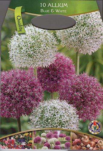 30 Zwiebel Allium-Mix blau und weiß Größe 10/12