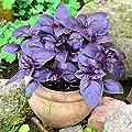 Seeds Basil Purple Leaf Vegetable Organic Heirloom Ukraine