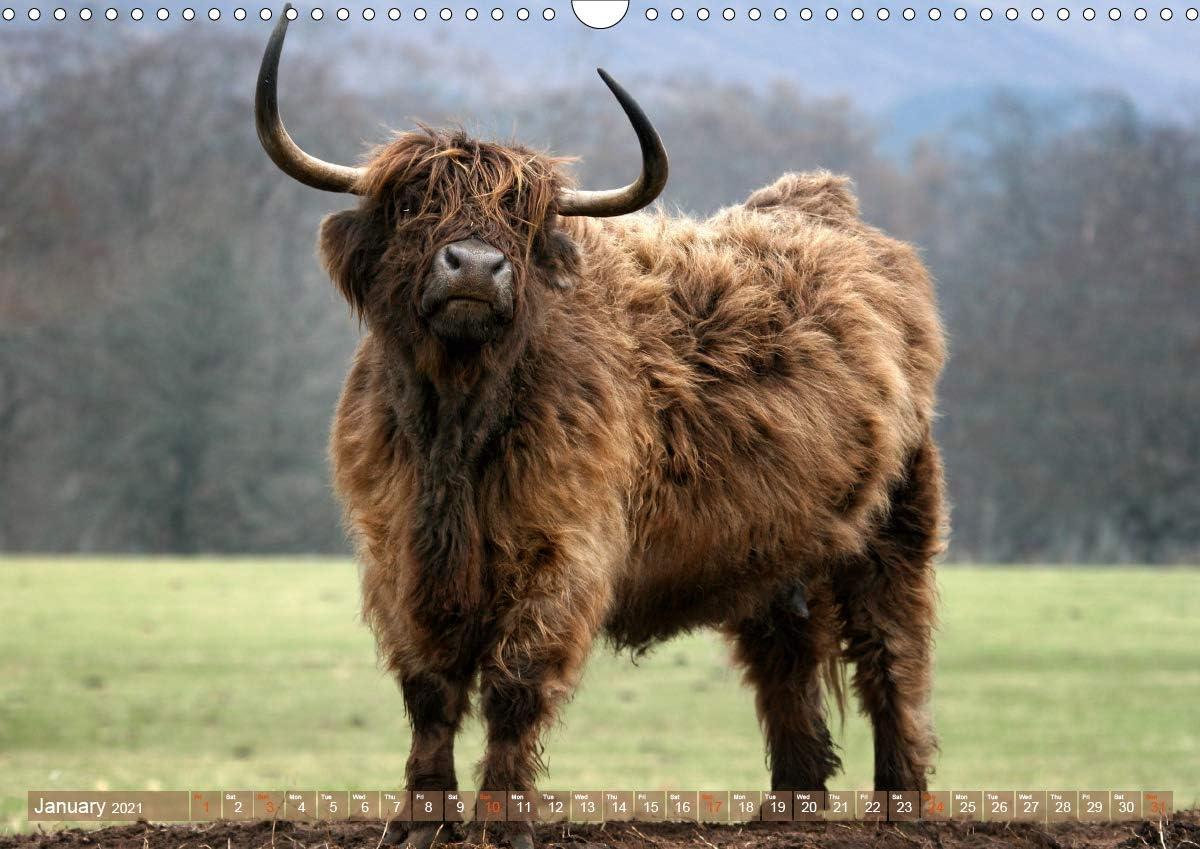 Highland Cows Landscape Calendar 2021
