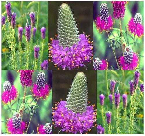 Names X 500 Full Colour - 4 Packs x 500 Purple Prairie Clover Wildflower Seeds - Dalea purpureum - Very drought tolerant - ZONES 3-9 - By MySeeds.Co