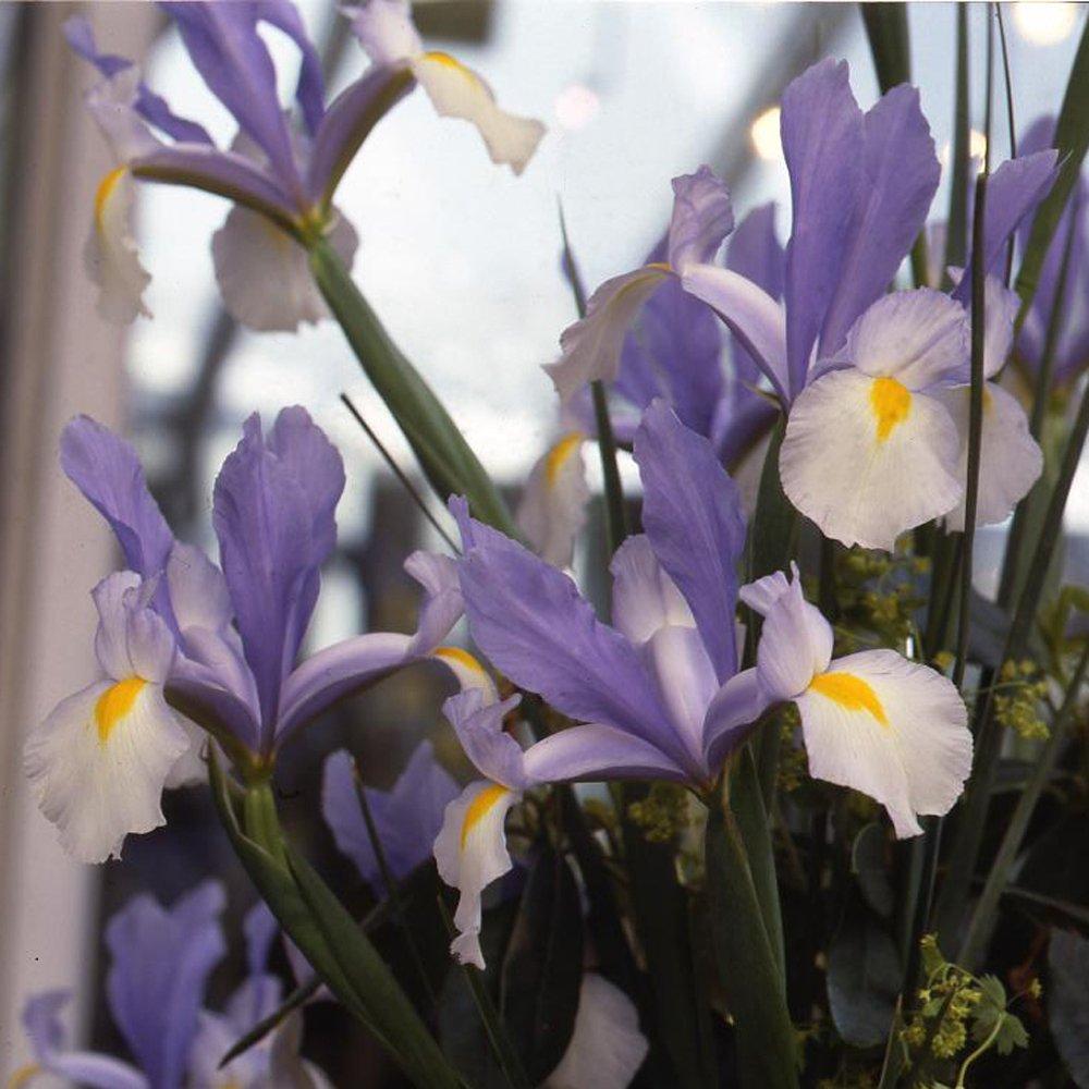 20 x Iris Hollandais 'Silvery Beauty'- Tubercules/Bulbe Vivace Gardens2you