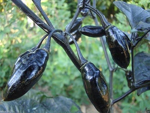 10 Pimenta da Neyde Pepper Seeds