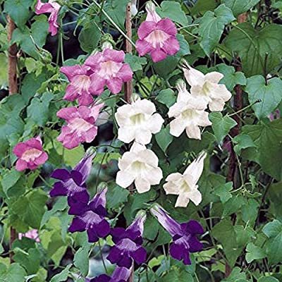 Hot - Climbing Snapdragon Mix Vine Seeds Violet, White, Rose!!.Asarina Scandens. Annual/Perennial Seeds : Garden & Outdoor